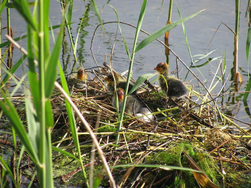 baby ducks in nest on bank of Die Oog pond
