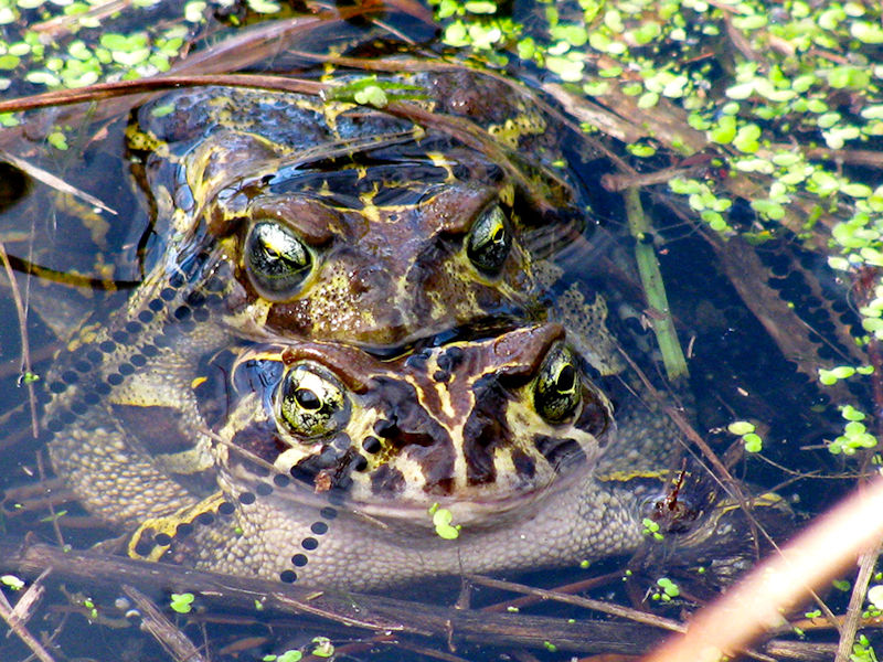 mating leopard toads