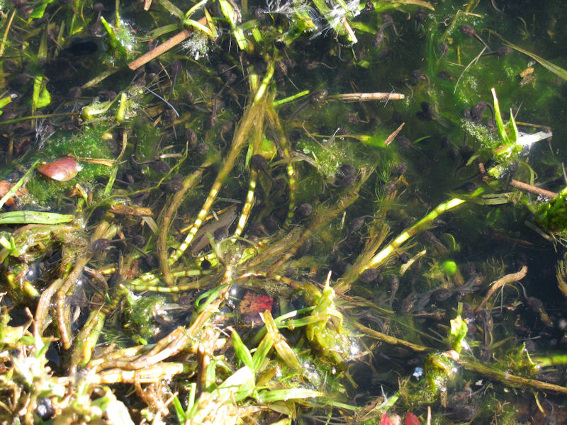 leopard toad tadpoles at Die Oog pond