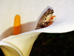 reed frog on an arum lily