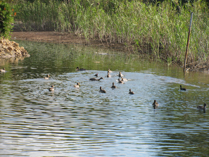 family of ducks on Die Oog pond