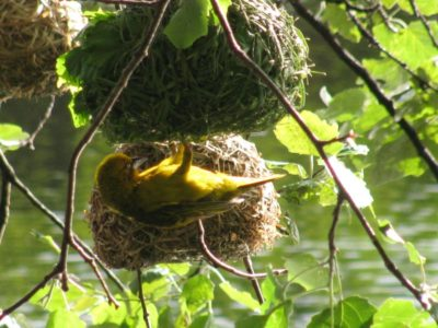 weaver bird making nest in Die Oog wetlands