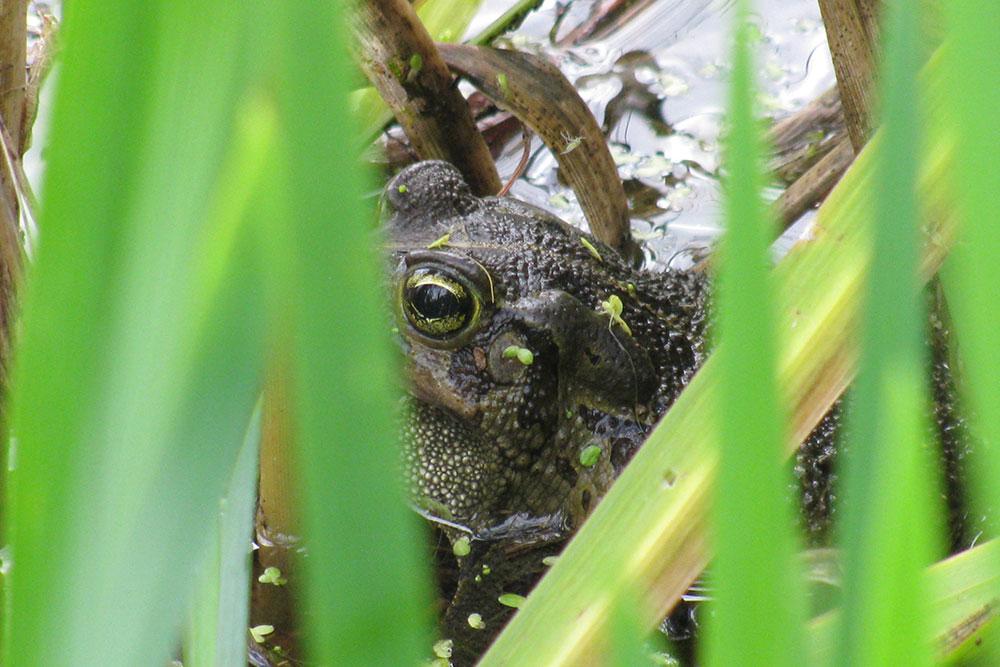 Leopard toad in Die Oog dam reeds