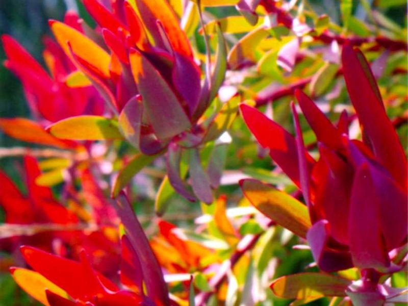 orange leucadendron salignum flowers