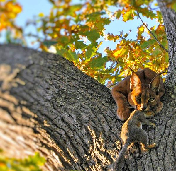 caracal in tree eating squirrel