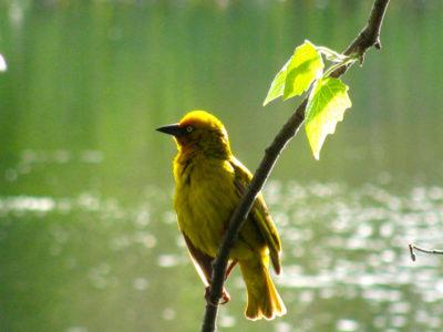 weaver bird on branch