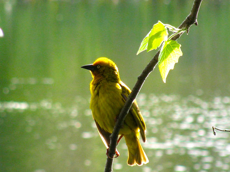 weaver bird on branch