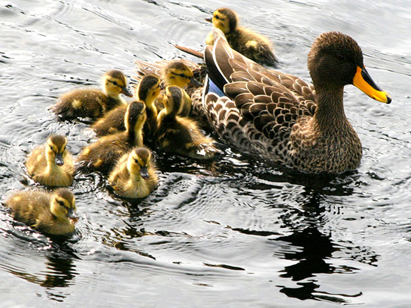 mother duck with her babies on Die Oog pond