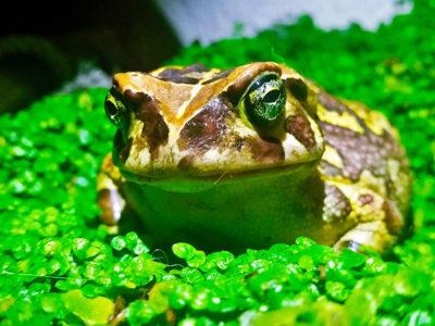 leopard toad in green plants