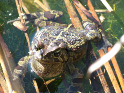 Leopard Toad living in Die Oog wetlands